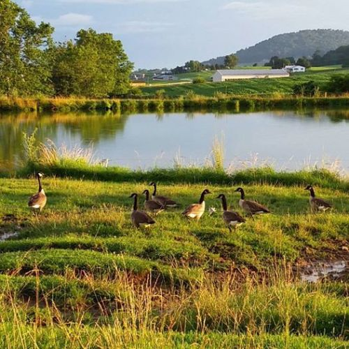 Farm Pond with Geese
