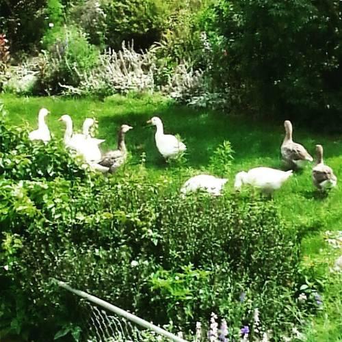 Geese in front yard.jpg1