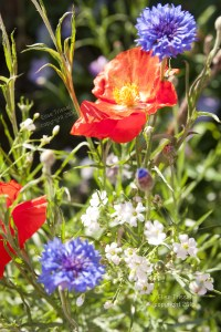poppies and alyssum by Elise