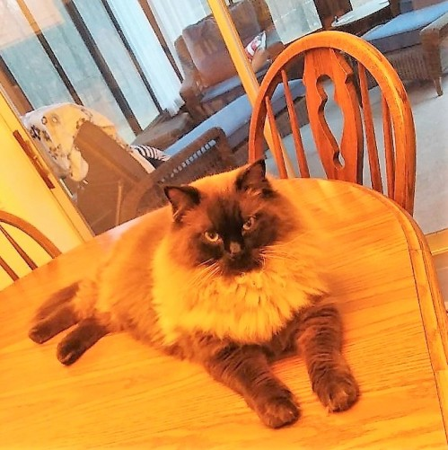 Ragdoll kitty on chair